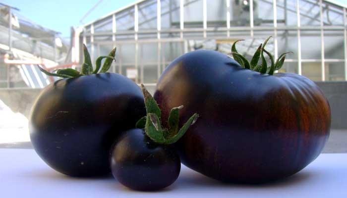 фиолетовый помидор